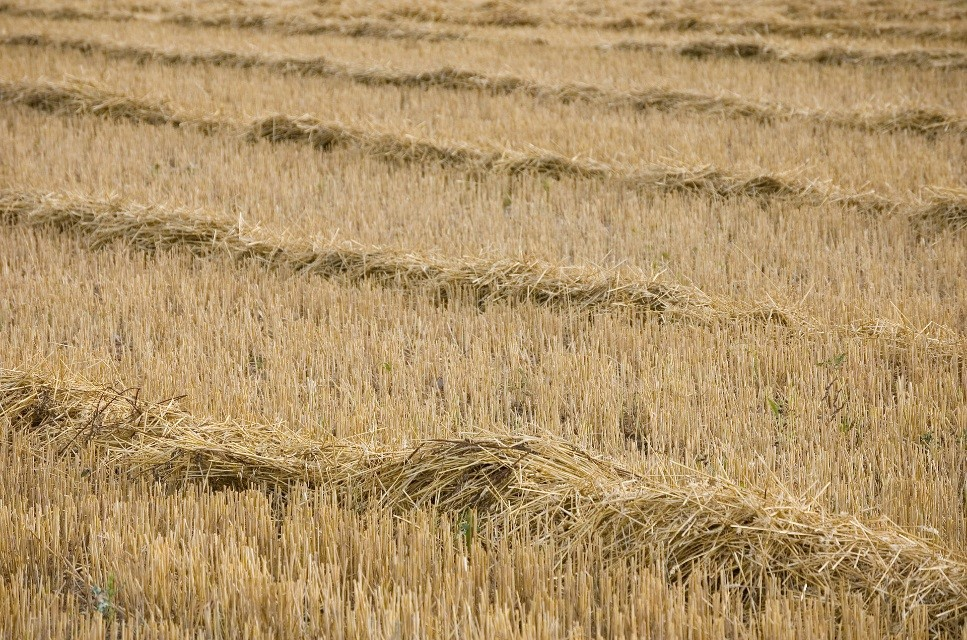wheat windrows food trend modern farmers